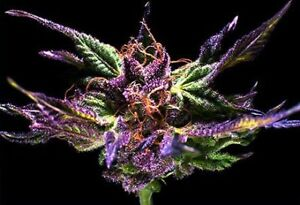 MEDICAL MARIJUANA SEEDS FROM THE WORLDS TOP BREEDERS