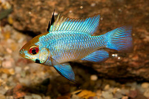 Wanted:german blue rams or electric blue rams