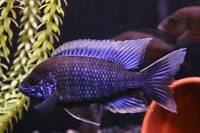 TROPICAL FISH FOR SALE AFRICAN CICHLIDS