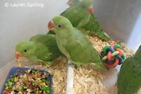 Looking for the Bebe Ringneck or baby alexandrine parrot