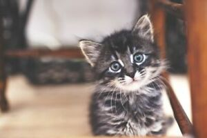 Looking to adopt a kitten