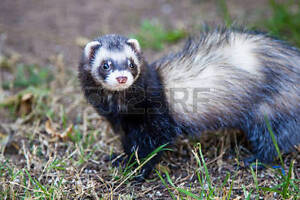 Rehoming ferret