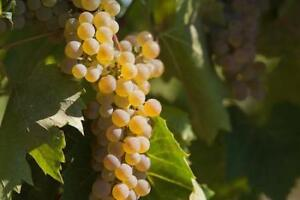 High Quality Wine Grapes