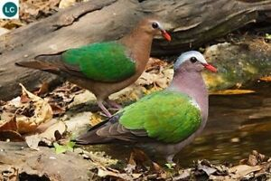 Green-wing dove