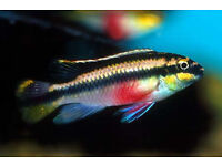 Kribensis for sale, fish for sale
