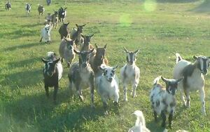 Looking For Pygmy and or Nigerian Dwarf Goats!