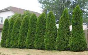 Wanted 10+ Large privacy cedars trees
