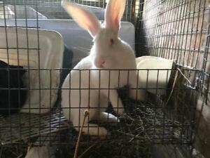 Well cared Rabbit for sale