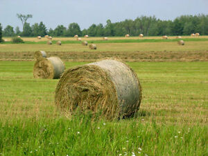 FREE HAY,  standing hay makes 360 round bales 4'X4'