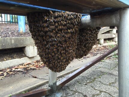 Free Professional bee swarm collection /  removal northern Adelaide