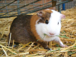 Looking to Buy Hay for Guinea Pigs