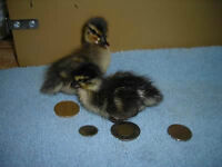 Call Ducklings for Sale