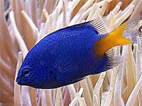 Damsel marine fish free to good home