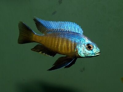 African cichlid fish for sale other pets for rehoming for Cichlid fish for sale