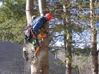 Pro Tree Cutters/Climbing/Trimming/Insured/Free Quotes