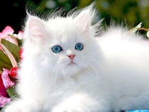 Looking to adopt or buy a white Persian