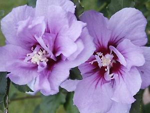 Beautiful Rose of Sharon / Hibiscus plant ready for planting