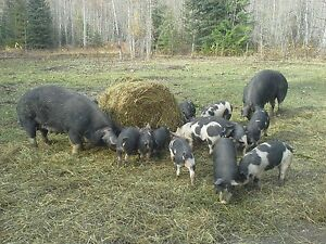 Barbecue Pigs
