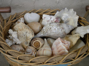 Basket of shells and 2 large jars of shells, small driftwood,etc