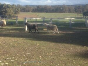 2 dorper Rams for sale yellow tag Toodyay Toodyay Area Preview