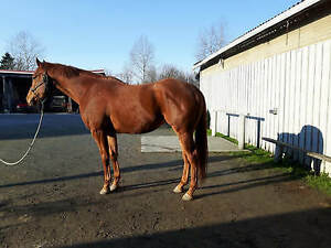"Young Male Horse - Thoroughbred: ""Catch Twenty One"""