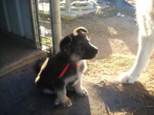 Purebred shepherd pups Ducklo Dalby Area Preview