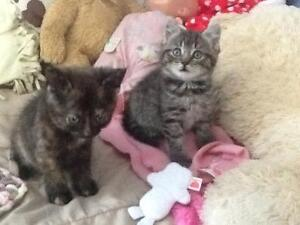 Kittens need a loving home FREE