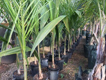 Cocos Palm - Queen Palm (Syagrus romanzoffiana)