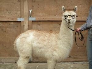 Looking for a different type of livestock?  ALPACAS