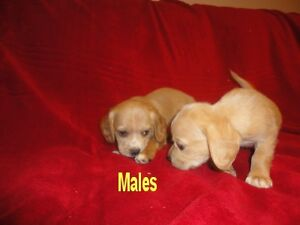 One Male Cocker Spaniel Puppy Still Available rest are on Hold