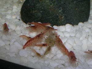 Cherry shrimps for sale or to trade for other shrimps