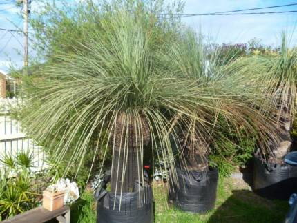 GRASS TREE - BLACK BOY - XANTHORRHOEA GLAUCA