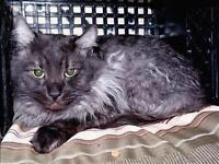 "Adult Male Cat - Domestic Long Hair: ""Merlin"""