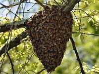 Honey bee swarms collected free
