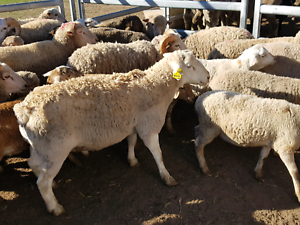 Goats, sheep and lamb Marsden Park Blacktown Area Preview