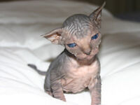 Chaton -sphynx a vendre.