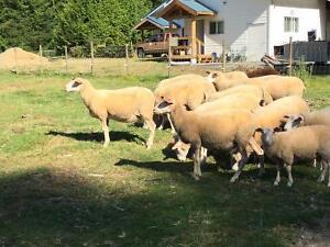 Yearling East Friesian Ewes