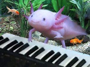 axolotl(Mexican walking fish) Beechboro Swan Area Preview