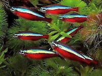cardinal tetras & rummy nose tetras tropical fish