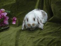10 week old baby mini lop rabbit girls ready now