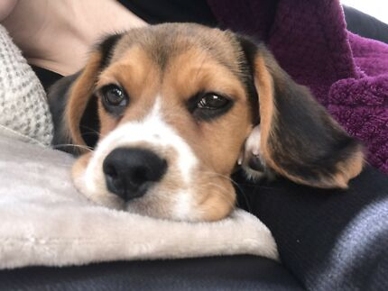 Puppy For Sale (Beaglier)