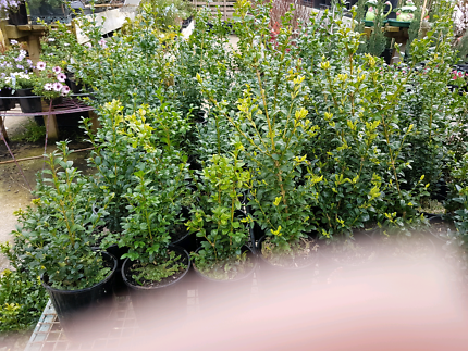 ENGLISH BOX HEDGE SPECIAL 6IN POTS ONLY $3.99