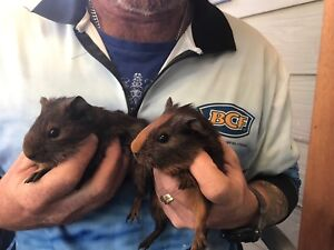 Guinea pigs for sale Toukley Wyong Area Preview