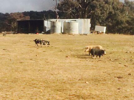Pigs Berkshire and cross