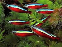 CARDINAL TETRAS £1.75 or 10 for £15