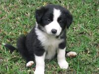 LOOKING FOR BORDER COLLIE PUPPIES