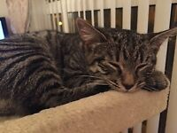 LOST MALE JASPER 8 MONTH OLD TABBY CAT WITH DISTINCTIVE BLACK STRIPES MISSING FROM NEWMILLS