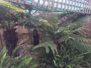Tree ferns Belmont Geelong City Preview
