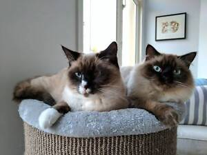 Mr Fuzzypants and Tuxedo Ragdoll Shorthair Cats For Sale Port Melbourne Port Phillip Preview