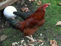 Chickens for sale - Family of three